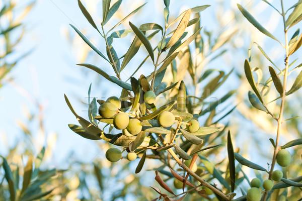 Olijven middellandse zee olijfolie goud cultuur Stockfoto © Kuzeytac