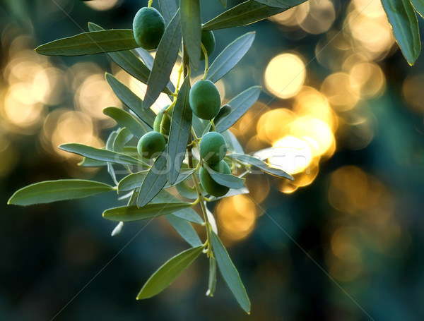 Mediterranean Gold; Olives On It's Tree Branch Stock photo © Kuzeytac