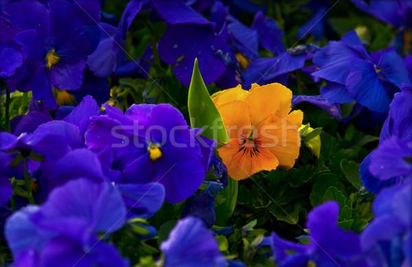желтый фиолетовый Purple один толпа свет Сток-фото © Kuzeytac