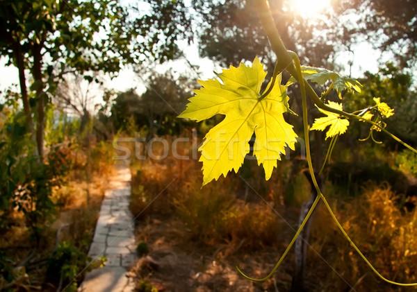 винограда винограда пути саду лист высушите Сток-фото © Kuzeytac