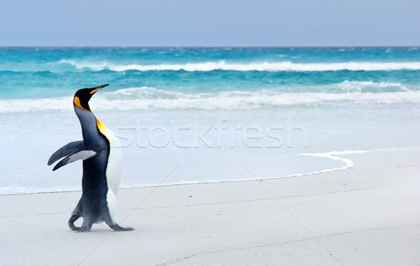 King Penguin Stock photo © kwest