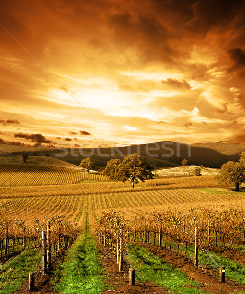 Stunning Sunset Vineyard Stock photo © kwest