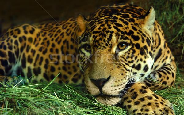 Oog tijger gezicht dier angst scary Stockfoto © kwest