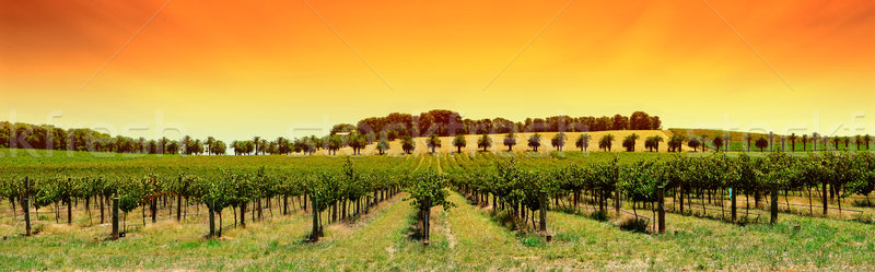Vineyard Panorama Sunset Stock photo © kwest