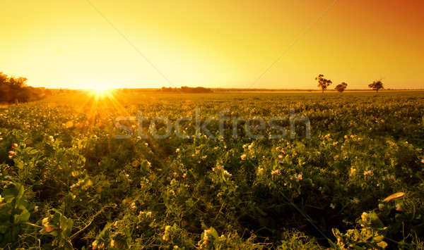 Field Sunset Stock photo © kwest