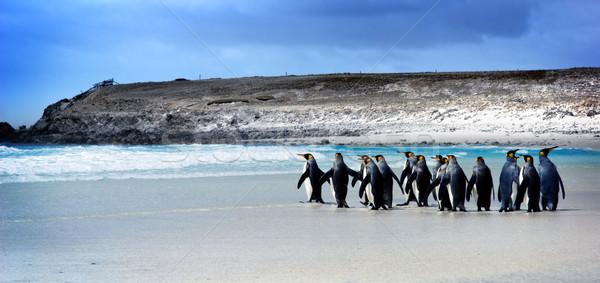 Király Falkland-szigetek víz barátok csoport madarak Stock fotó © kwest
