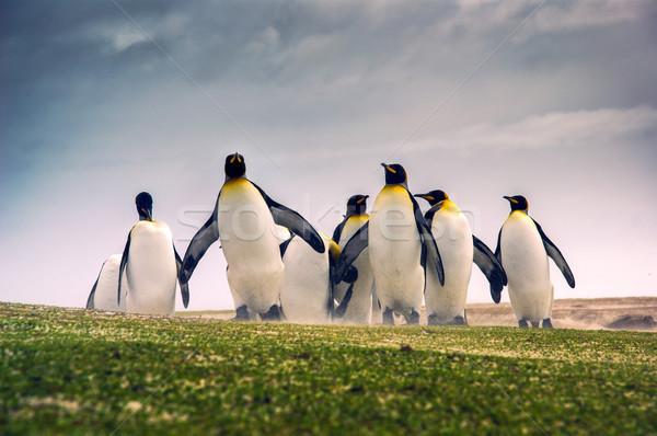 Felfedez király Falkland-szigetek család tájkép csoport Stock fotó © kwest