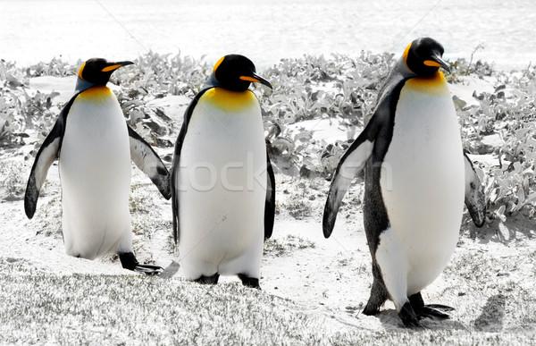 Király Falkland-szigetek víz barátok csoport sétál Stock fotó © kwest