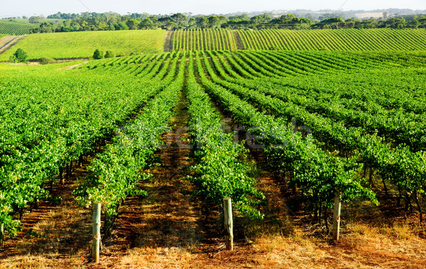 Gorgeous Green Vineyard Stock photo © kwest