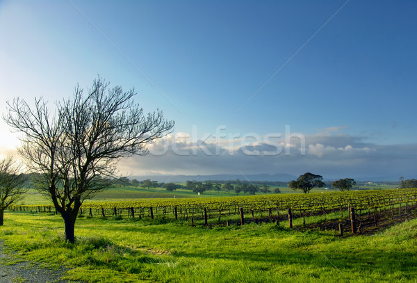 Vineyard Landscape Stock photo © kwest