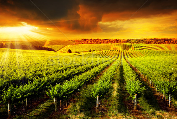 Stunning Vineyard Sunset Stock photo © kwest