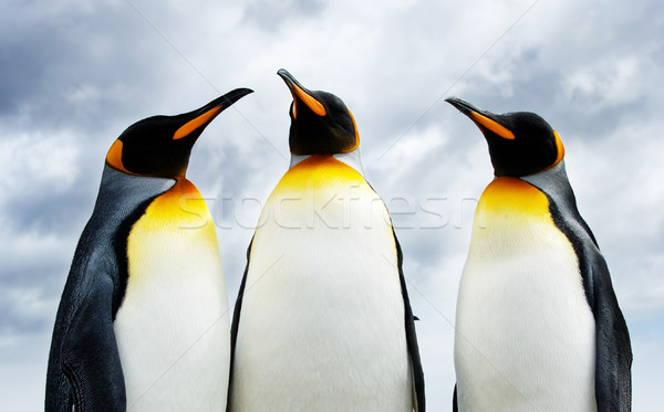 Three King Penguins Stock photo © kwest