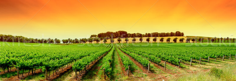 Vignoble orange ciel vert Photo stock © kwest