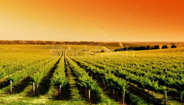 виноградник Восход один дерево холме Южная Австралия Сток-фото © kwest