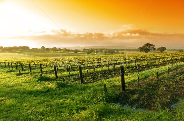 Vineyard Sunrise Stock photo © kwest