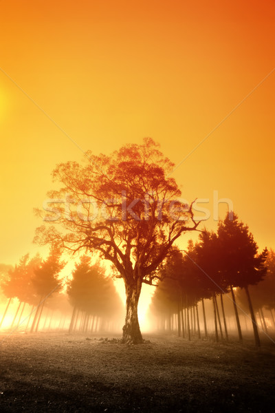 Ködös napfelkelte nap ausztrál erdő naplemente Stock fotó © kwest