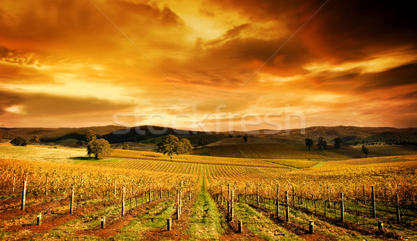 Stunning Vineyard Stock photo © kwest