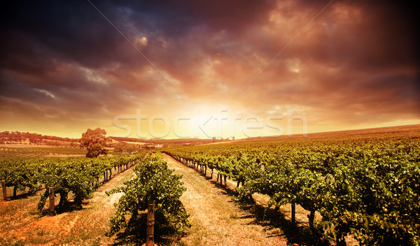 Sunset Vineyard Stock photo © kwest