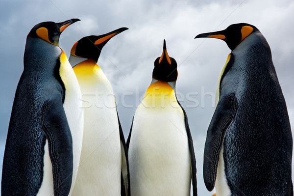 4 King Penguins Stock photo © kwest