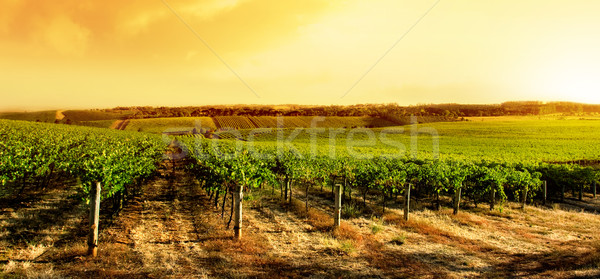 Amazing Vineyard Sunset Stock photo © kwest