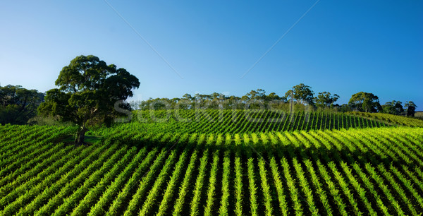 Australian Vineyard Stock photo © kwest