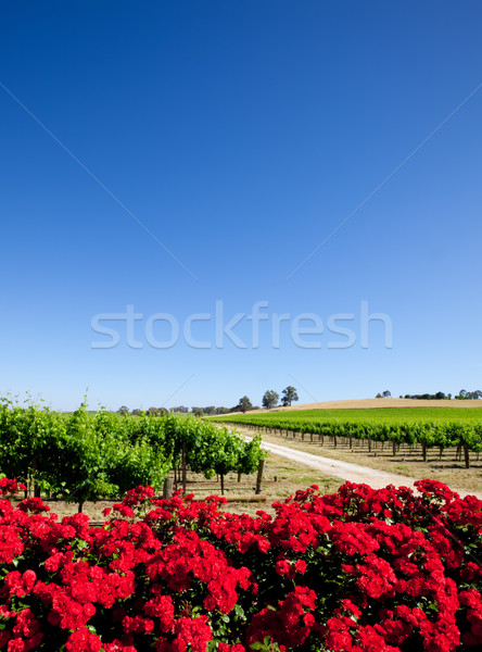 Beautiful Vineyard Stock photo © kwest