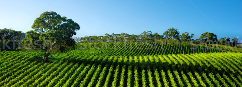 Vivid Vineyard Panorama Stock photo © kwest