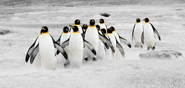 Penguins on the Move Stock photo © kwest