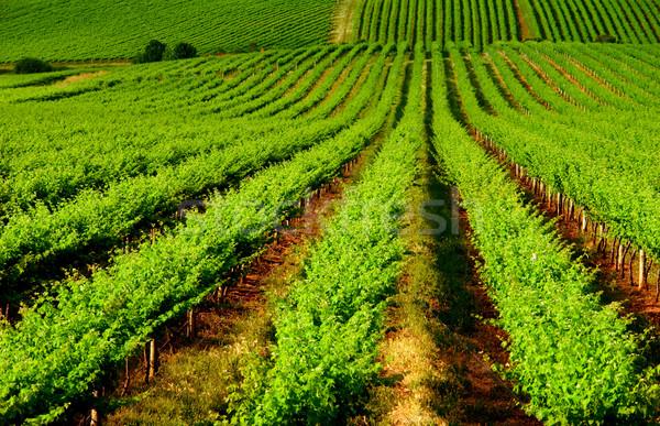 Szőlőskert gyönyörű egy fa domb Dél-Ausztrália Stock fotó © kwest