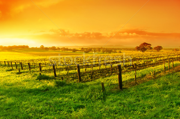Vignoble sunrise ciel printemps herbe vin Photo stock © kwest