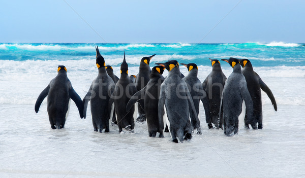 King Penguins Stock photo © kwest