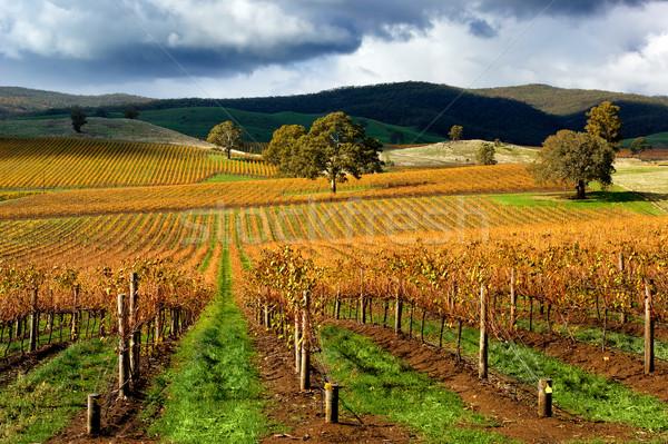 осень виноградник бурный день дерево облака Сток-фото © kwest