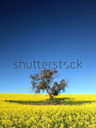 Canola Tree Stock photo © kwest