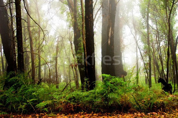 Erdő köd kora reggel háttér fák utazás Stock fotó © kwest