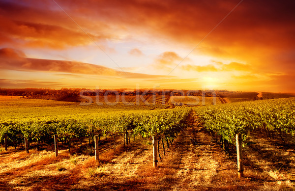 Incredibile vigneto tramonto south australia vino sole Foto d'archivio © kwest