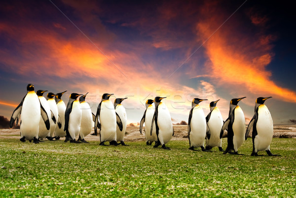 Király Falkland-szigetek szépség tél csoport napfelkelte Stock fotó © kwest