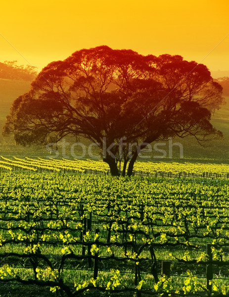 Photo stock: Arbre · vignoble · sunrise · nuages · vin