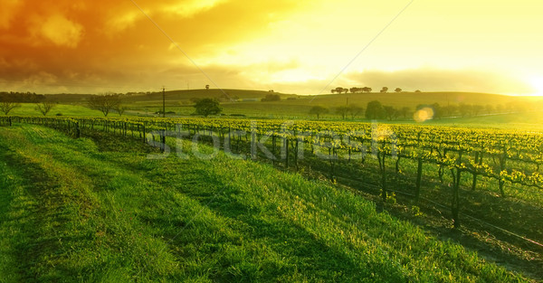 Sunrise over the Vineyard Stock photo © kwest