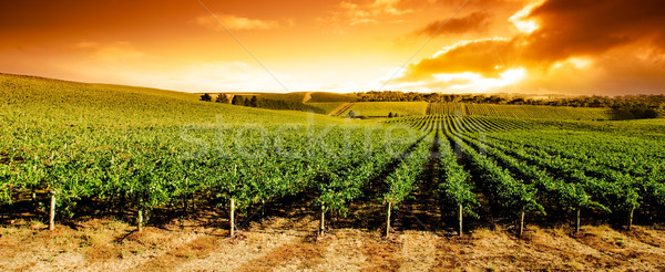 Sunset Vineyard Panorama Stock photo © kwest