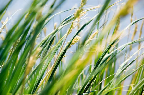 Fű fúj szél háttér zöld citromsárga Stock fotó © kwest