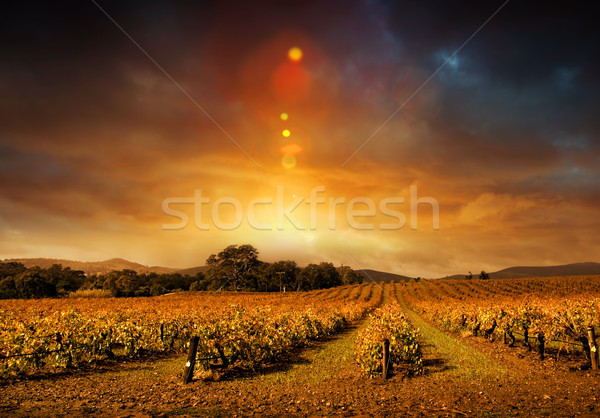 Autumn Vineyard Sunset Stock photo © kwest