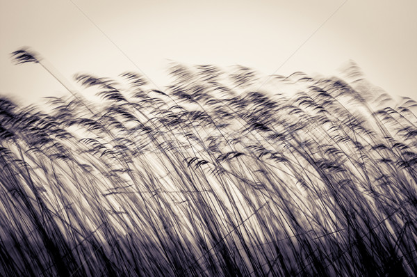Many cane stems in motion against light sky. Stock photo © kyolshin