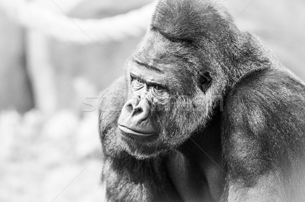 Black and White Portrait of Gorilla Stock photo © kyolshin