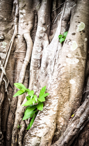 Young sprout growing through roots of old tree. Stock photo © kyolshin