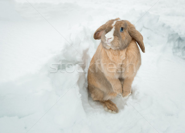 Funny cute rabbit with blue eyes standing in snow. Stock photo © kyolshin