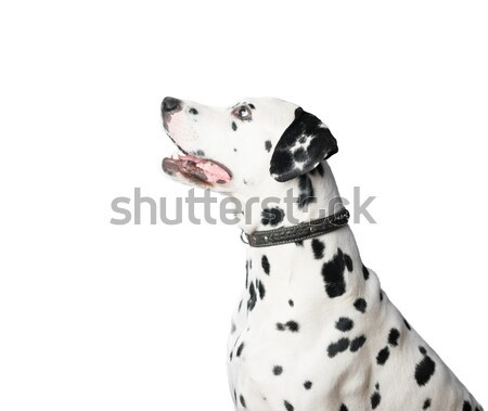 Young dalmatian dog in leather collar on white background. Stock photo © kyolshin