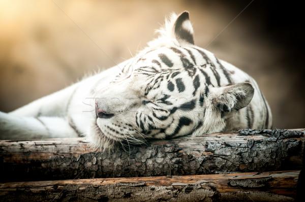 White Tiger Lying Down Stock photo © kyolshin