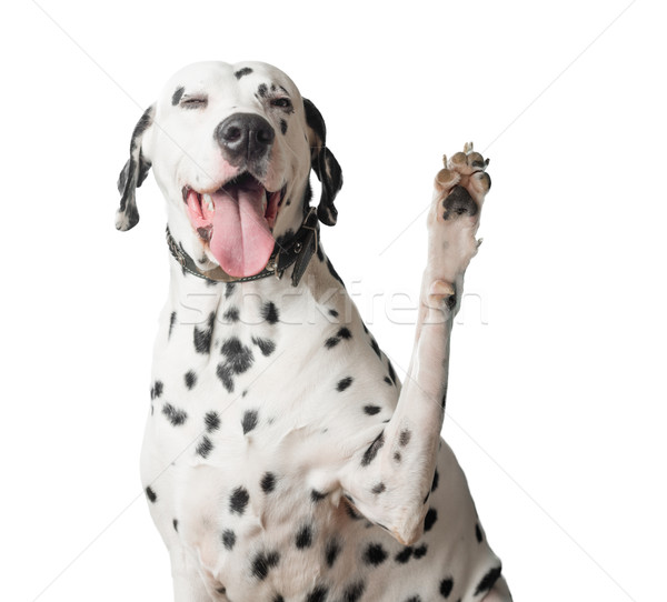 Dalmatian with tongue hanging out waves its paw. Stock photo © kyolshin