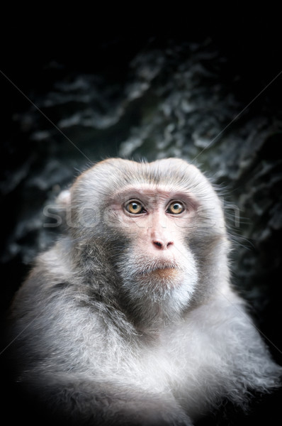 Portrait of cute little monkey with serious face. Stock photo © kyolshin
