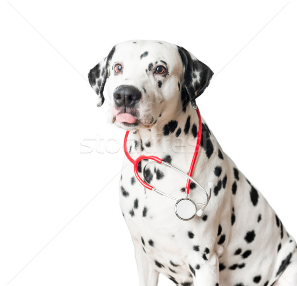 Funny dalmatian dog with red stethoscope. Stock photo © kyolshin